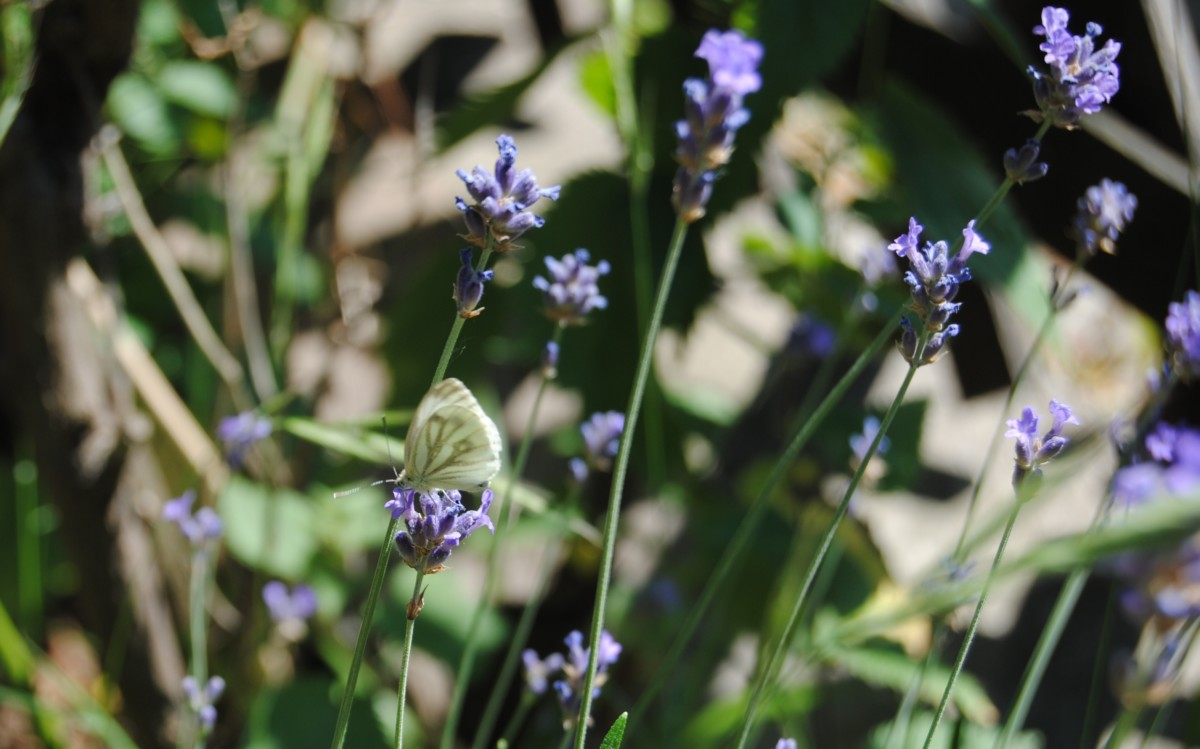 Lavendel Schmetterling - Badesalz - flundernplatt -Lehrmeister